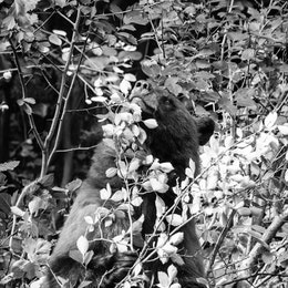A cinnamon black bear, sniffing a hawthorn berry, a happy smile on its face.