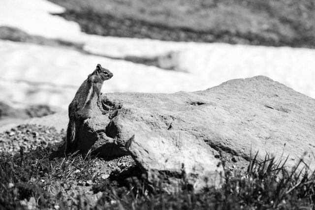 A golden-mantled squirrel sitting on a rock at Panorama Point on Mount Rainier National Park.