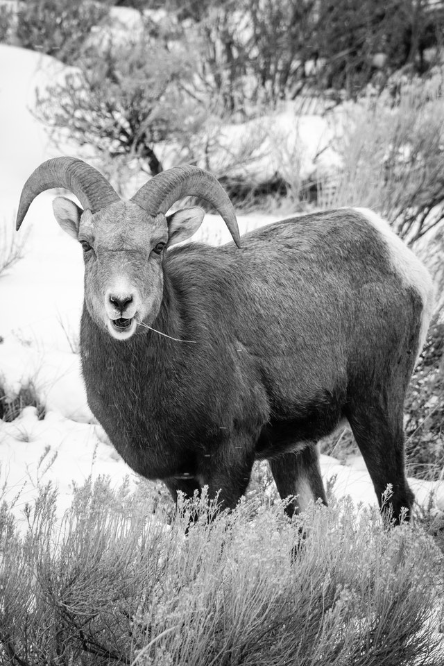 A bighorn ram standing on the side of a hill, with a blade of grass sticking out of his mouth.