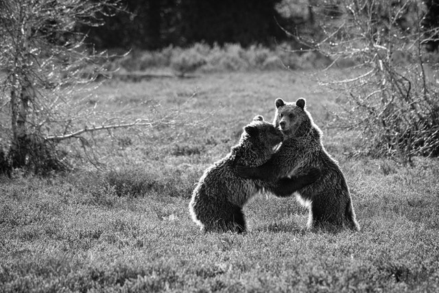 Two juvenile grizzlies wrestling near some trees.