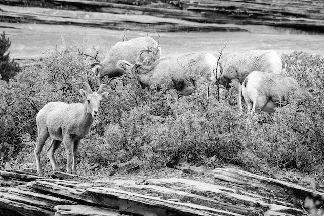 Five desert bighorn sheep eating from a shrub growing on a sandstone hillside.
