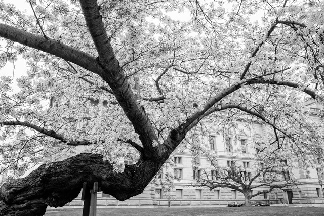 An old cherry tree behind the Library of Congress in Washington, DC.