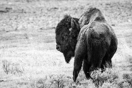 A bison, looking to his side while walking away from the camera.