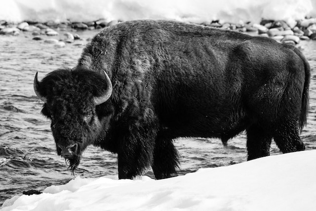 A bison standing on the snowy bank of the Gros Ventre river.