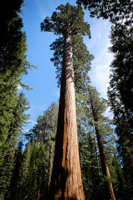 Giant Sequoias at Mariposa Grove, Yosemite National Park.