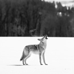 A coyote howling in the snow next to Antelope Flats Road.