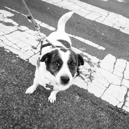 A very sweet dog named Katie crossing 16th Street NW near Adams Morgan.