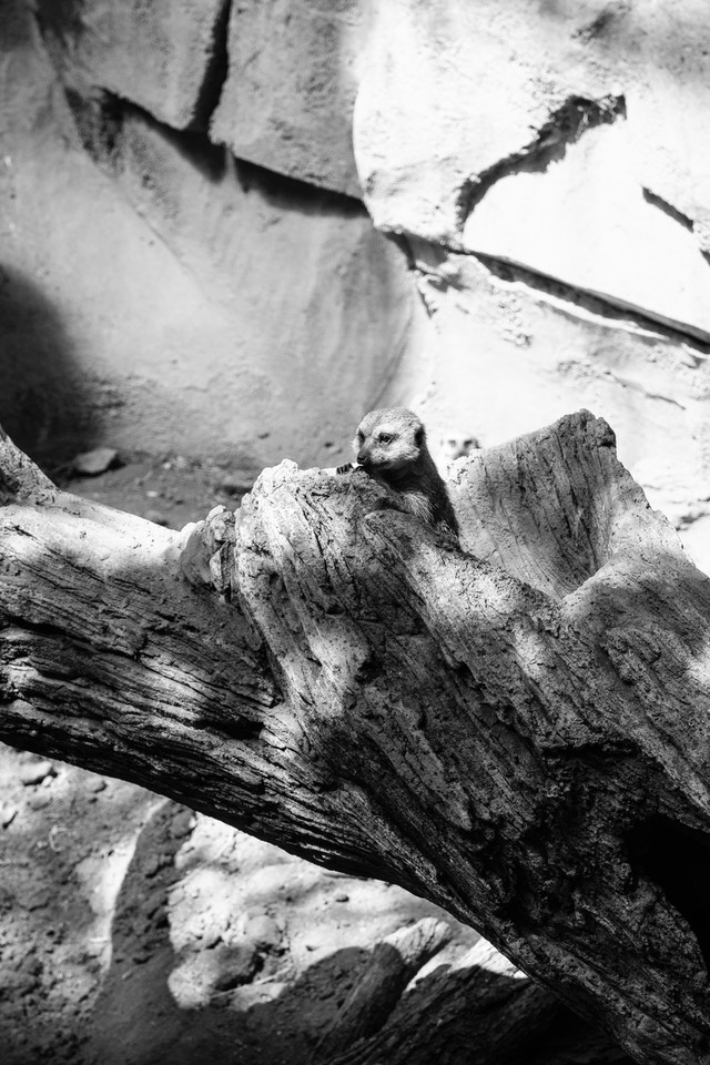 A cute little meerkat at the Lincoln Park Zoo.