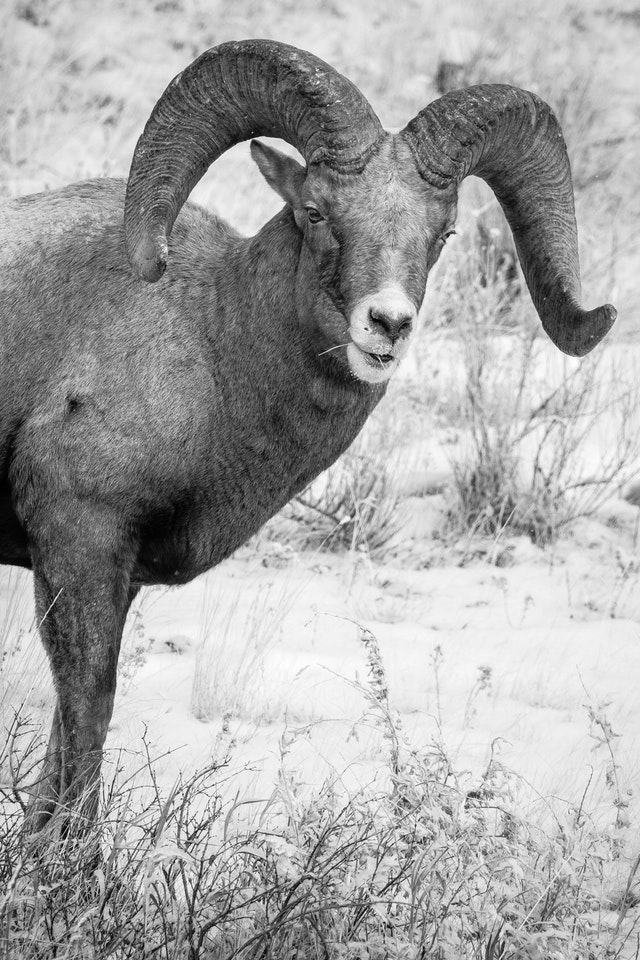 A bighorn ram chewing on some grasses.