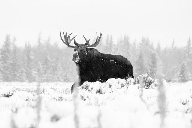 A bull moose walking through snow-covered sage brush during an early morning snowfall.