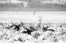 Three bull moose lying down among snow covered sage brush in Antelope Flats. Only their antlers and the top of their heads can be seen. The two on the left are facing away from the camera; the one on the right is facing towards the camera.