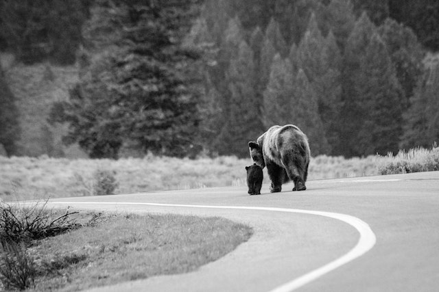 A grizzly sow walking down the middle of a curving road with her COY.