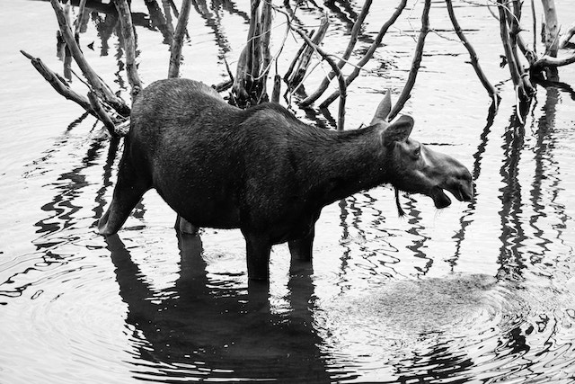 A moose cow standing in the water at a pond near the Snake River, in front of some branches.