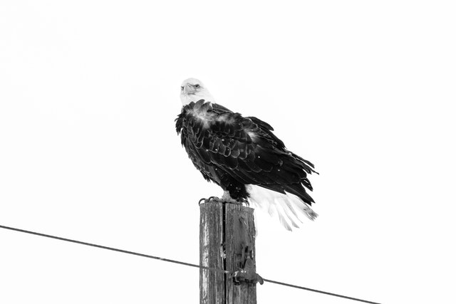 A bald eagle sitting on top of a utility pole, its feathers ruffled by the wind.
