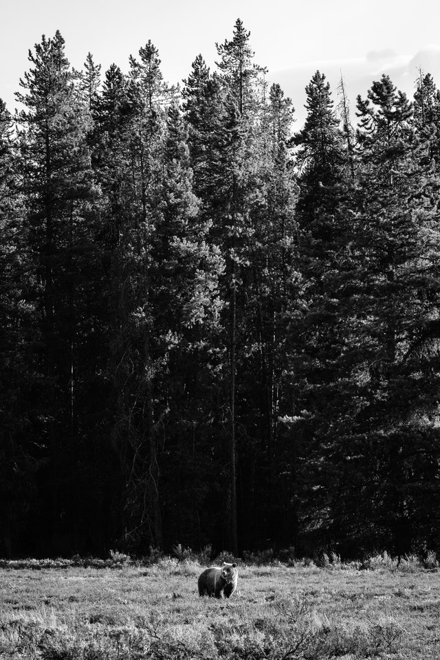 A grizzly bear standing in a field, in front of a line of pine trees.