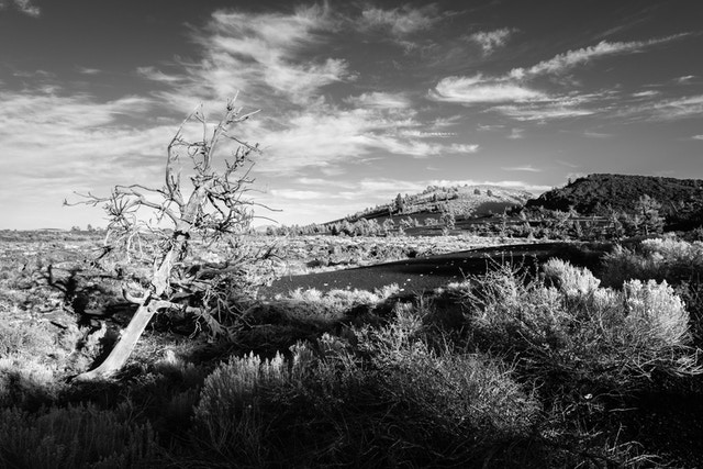 A dead limber pine among the sagebrush near the Devil's Orchard in Craters of the Moon.