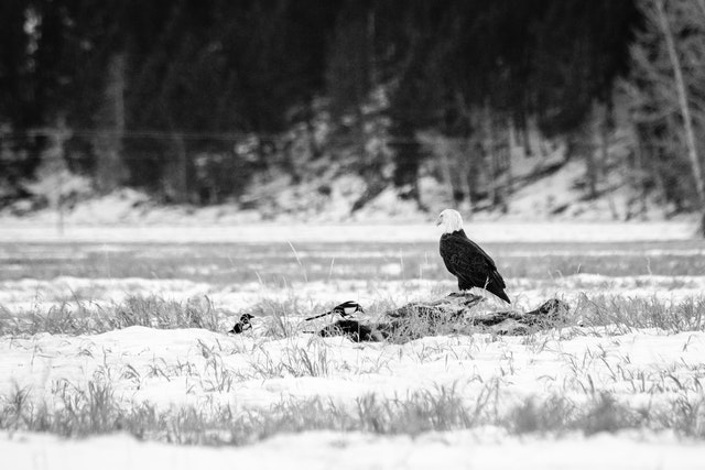 A bald eagle and a group of magpies feeding off a carcass in the snow.