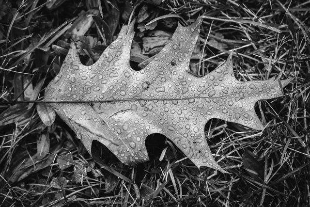 Rain drops on a leaf on the ground at Valley Forge.
