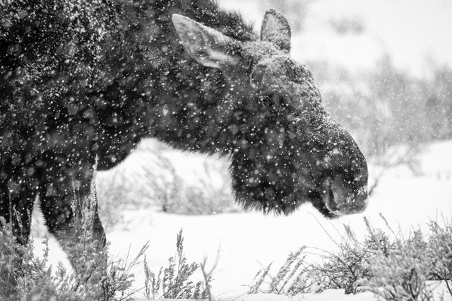 A bull moose browsing amongst the sage brush during heavy snowfall.