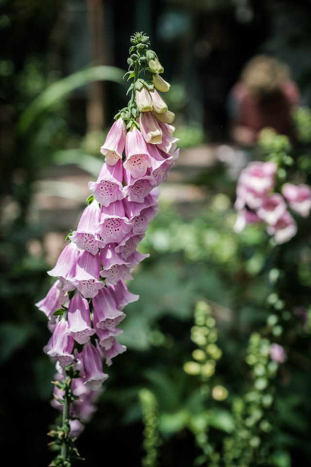 Some sort of foxglove at the United States Botanic Garden.