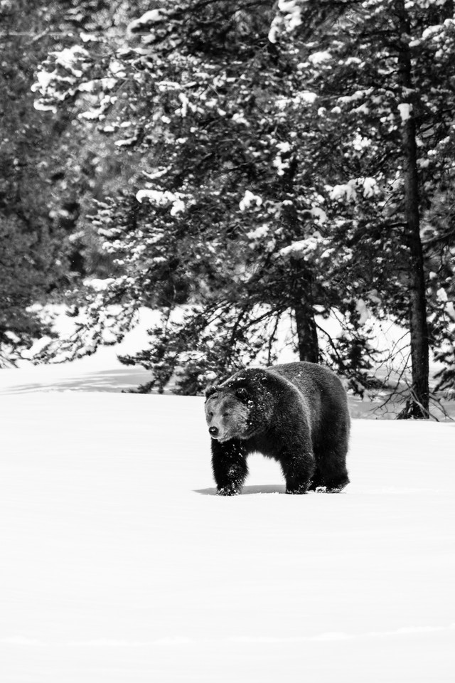 A male grizzly bear going on a stroll in the snow, near the woods.