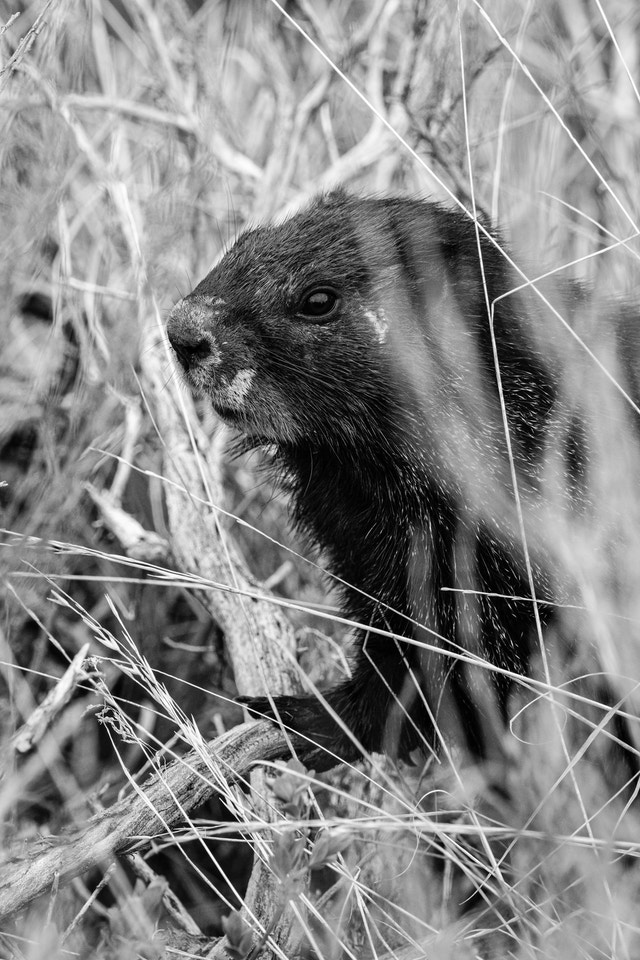 A marmot standing among the brush at Signal Mountain.