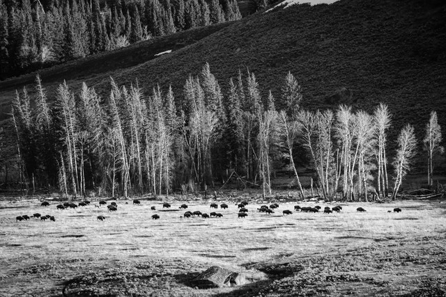 A large herd of bison walking along a copse of trees on the Lamar Valley.