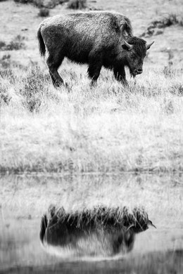 A bison, standing while looking to the right, and reflected off a nearby pond.