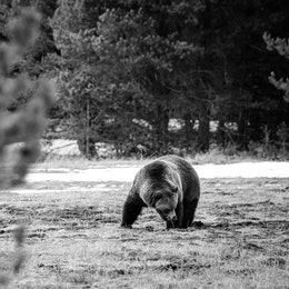 A grizzly bear digging for grubs on a field surrounded by trees.