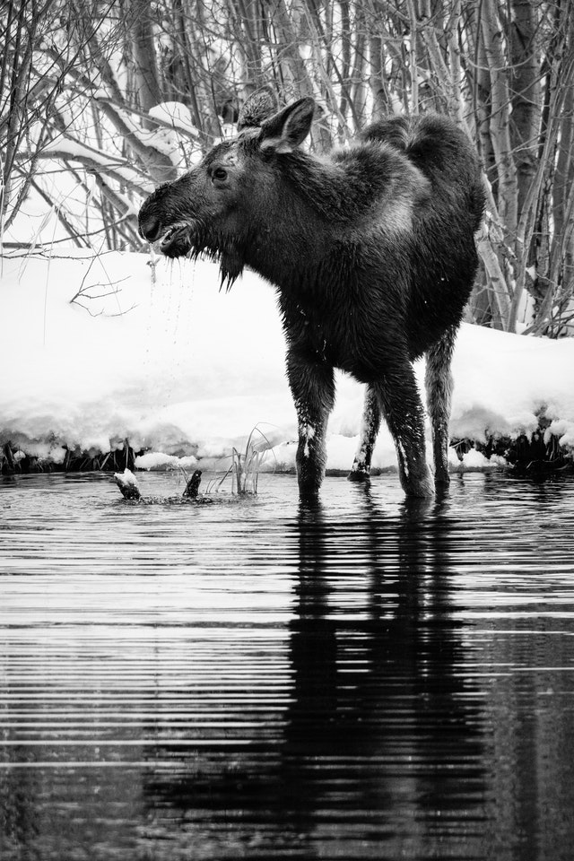 A young moose with wet fur standing in a pond, water dripping out of its mouth.