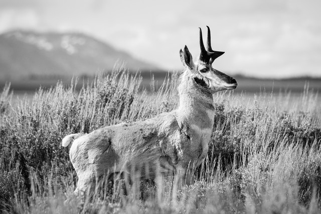 A male pronghorn standing majestically in the sage brush near Mormon Row.