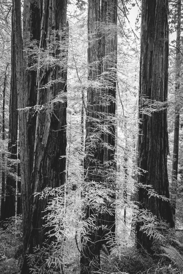 Trees at Muir Woods, California.