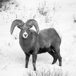 A bighorn sheep ram standing on a snow-covered hillside, looking towards the camera.