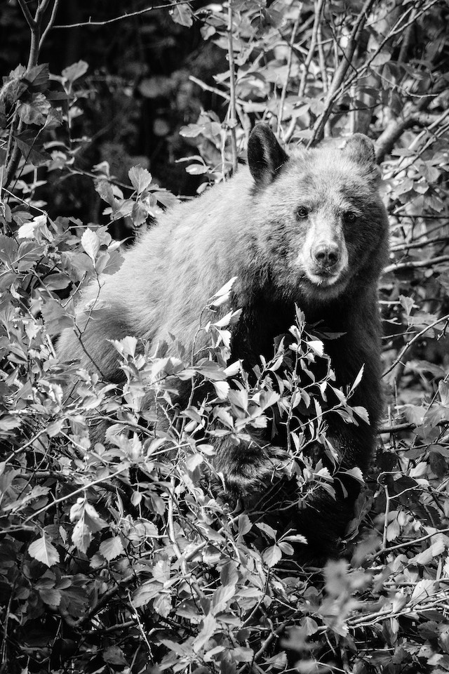 A cinnamon black bear, standing on a hawthorn berry bush and staring directly at the camera.
