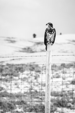 A juvenile bald eagle perched on a fence post separating Grand Teton National Park from the National Elk Refuge.