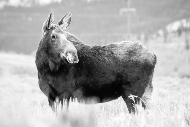 A cow moose standing in the brush at Antelope Flats. Her head is turned towards her left.