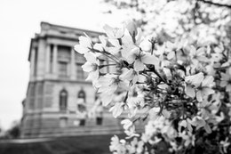Close-up of cherry blossoms in a tree behind the Library of Congress.