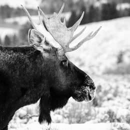 A close-up of a bull moose on Antelope Flats. His snout is covered in snow.