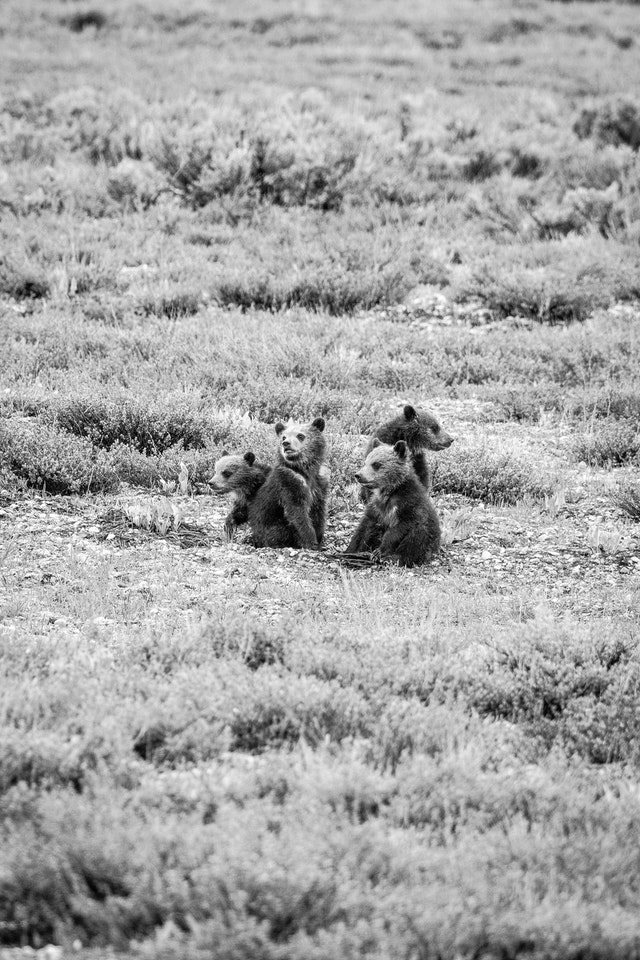 Four grizzly cubs, just sitting on the ground.