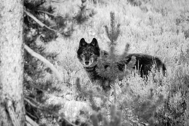 A black and gray wolf, standing between some trees.