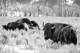 A group of four bison on the brush near Mormon Row. The one closest to the camera is looking back towards it.