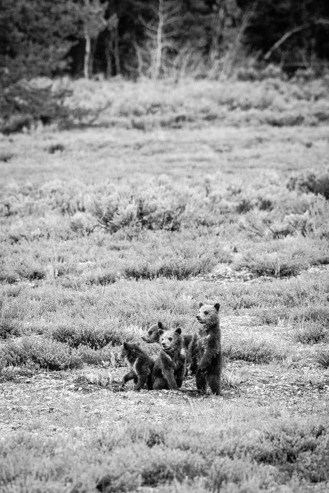 Four grizzly cubs in an open field. The one on the right is standing on its hind legs.