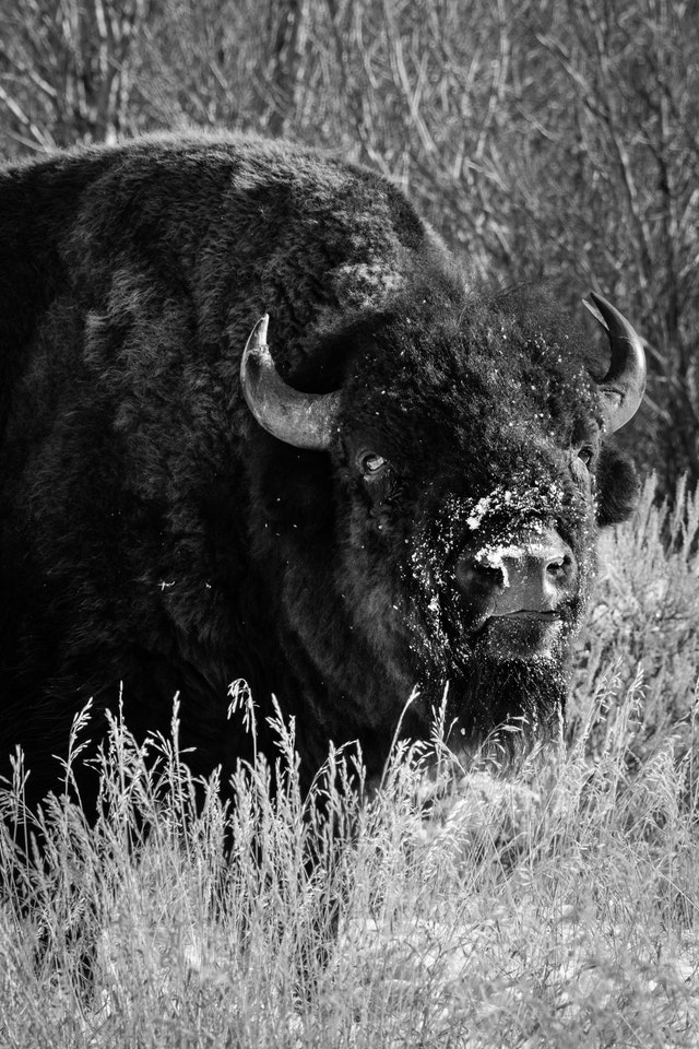 A bison with his snout covered in snow, grazing on the side of the road.