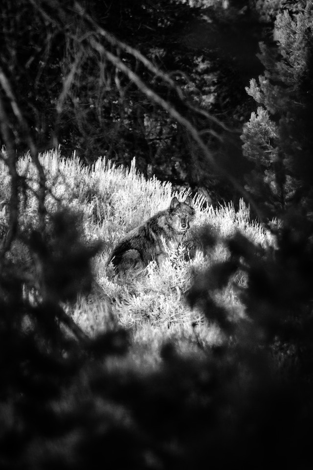 A black and gray wolf sitting in the brush and staring at the camera, seen between some pine trees.