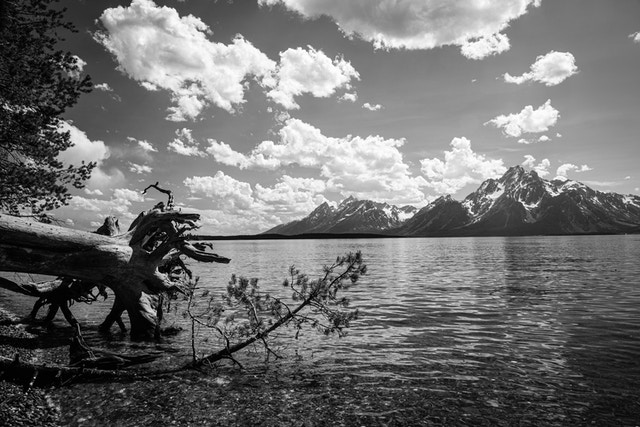 The waters at the shore of Jackson Lake. On the left, a fallen tree and a pine branch, and on the right, the Teton Range, with Mount Moran in the background.