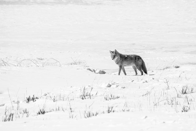 A coyote standing in a snow-covered field at the National Elk Refuge.