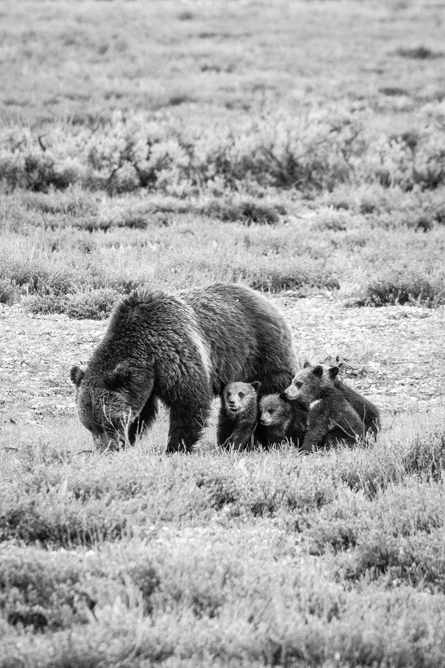 A grizzly sow digging in the ground, with her four cubs huddled next to her.
