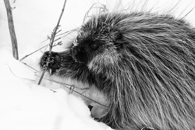 A porcupine reaching for a branch in the snow near Antelope Flats.
