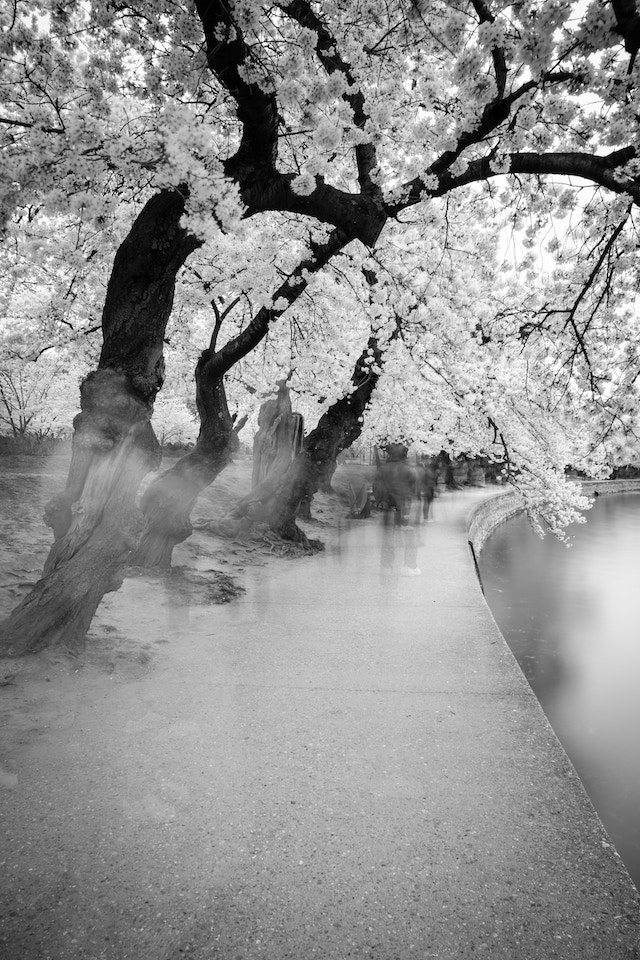 People walking under the cherry blossoms at the Tidal Basin.