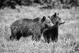 Two young grizzly bear siblings standing next to each other near Pilgrim Creek Road.